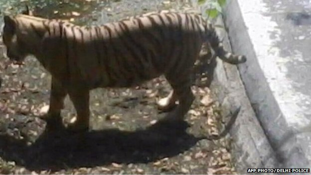 In this handout photograph received from the Delhi police, an Indian schoolboy is confronted by a white tiger inside its enclosure at the Delhi Zoo on September 23, 2014.